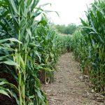 Liberty Corn Maze Open for the Season