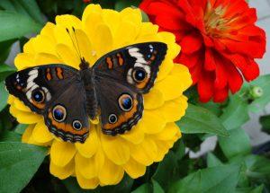 Festival of Butterflies at Powell Gardens in Kansas City - butterfly on a flower