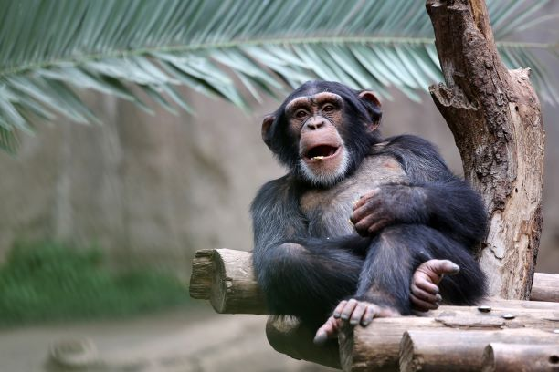 Kansas City Zoo discounts - chimpanzee leaning against a tree