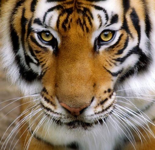Kansas City Zoo - tiger face