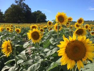 Gieringer's Sunflower Fest - field of sunflowers