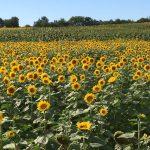 Kansas City Sunflower Fields in Bloom