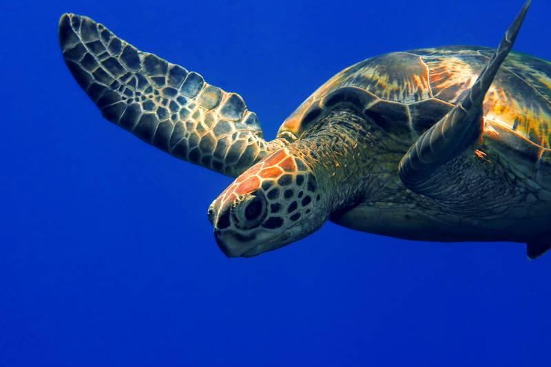 Sea Life Kansas City - turtle swimming