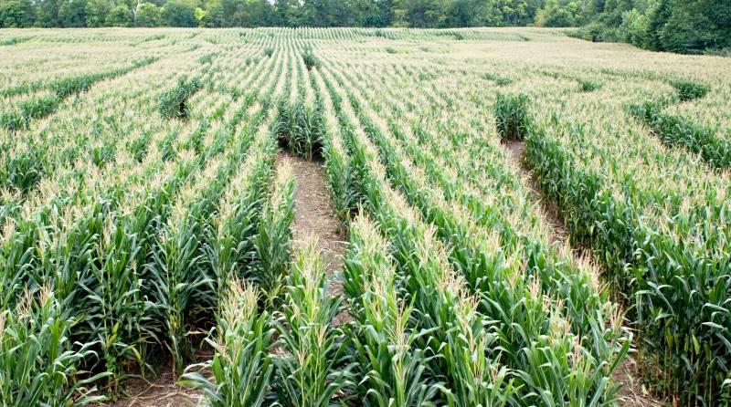 Kansas City pumpkin patches, corn mazes and hayrides - corn maze field