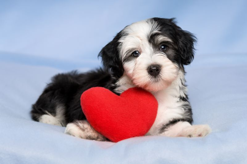 Valentine's Day with Kansas City - puppy with heart pillow