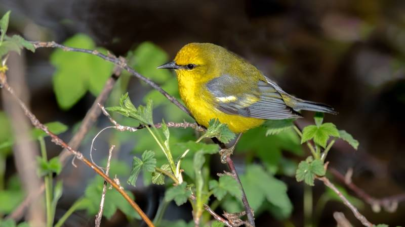 Bird Watching at the Overland Park Arboretum - blue winged warbler