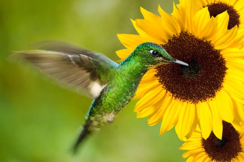 Free activities at the Overland Park Arboretum - hummingbird by a sunflower