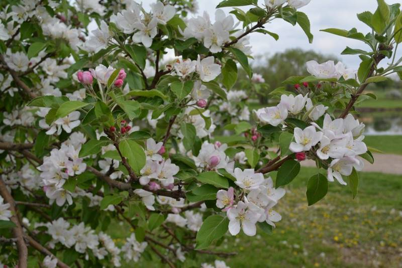 Free or Cheap Festivals in Kansas City - apple blossoms