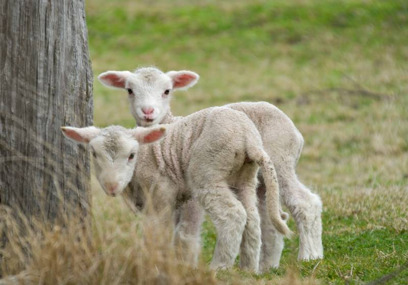 Festivals in Kansas City - two lambs