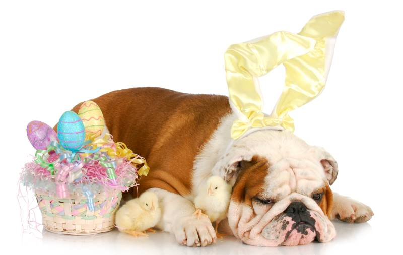 Easter Egg Hunts & Events in Kansas City - Bulldog with bunny ears