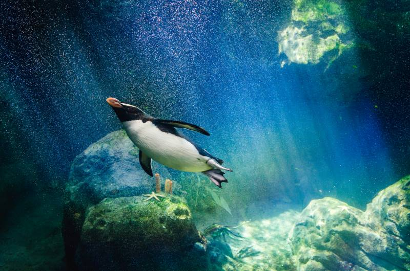 Kansas City Zoo animal cams - swimming penguin