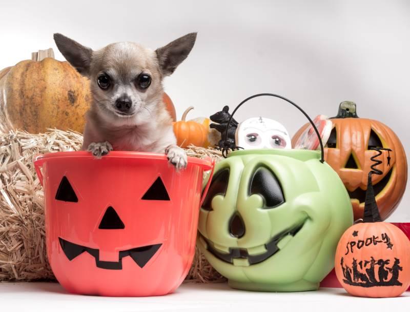 Kansas City Halloween Events - dog in candy pumpkin